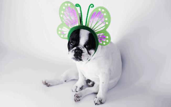 Dog wearing butterfly ears on a headband