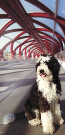 Sheepadoodle on bridge outside