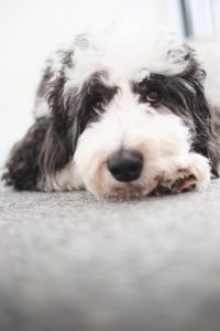 A sheepadoodle laying on the ground