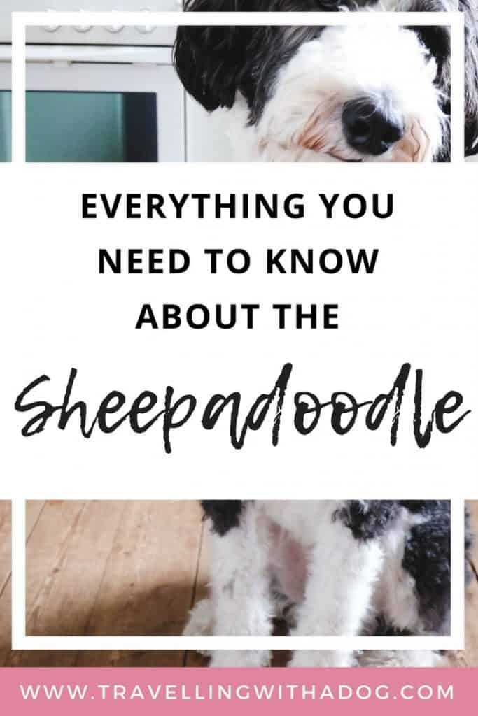The Honest Truth About Owning a Sheepadoodle Dog