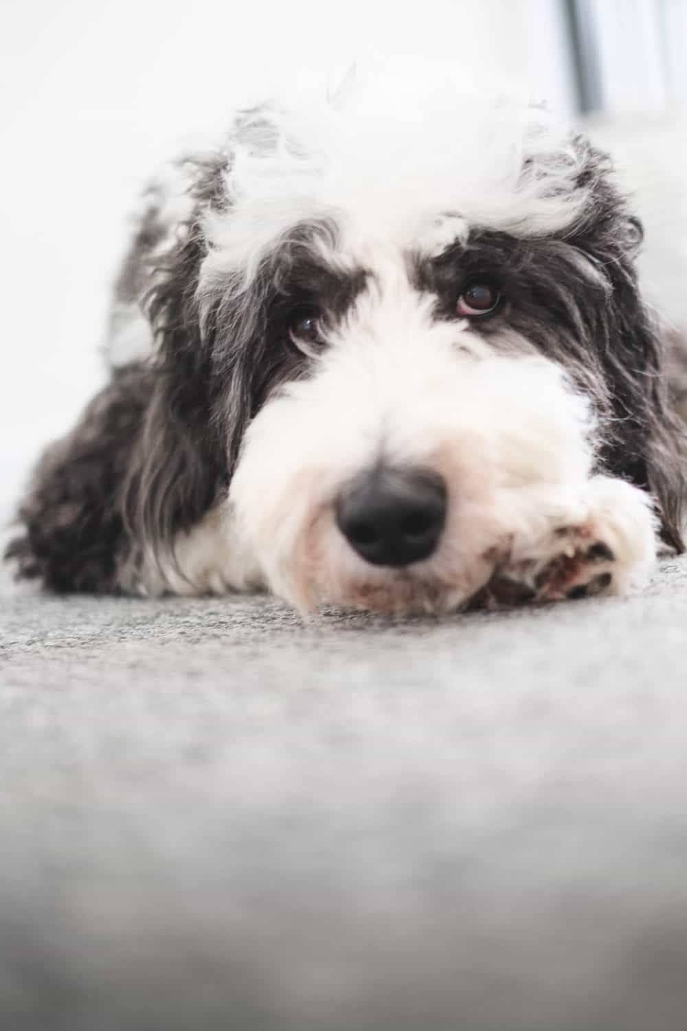 Sheepadoodle laying down