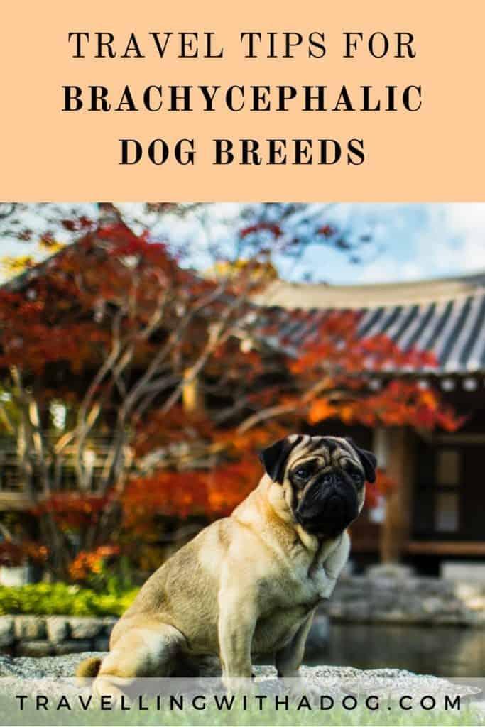image with text overlay: travel tips for brachycephalic dog breeds