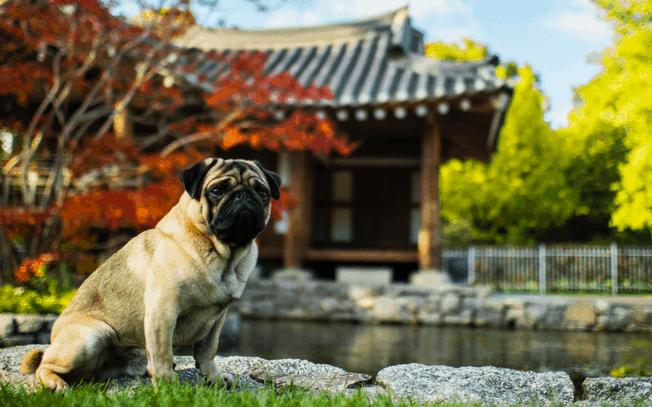 Snub nosed dog travelling