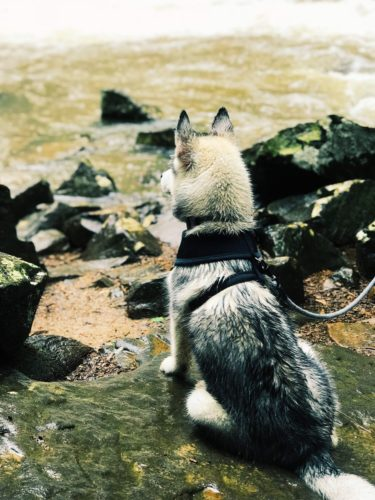 husky puppy sitting at a river's edge