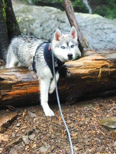 Husky walking over large tree stump