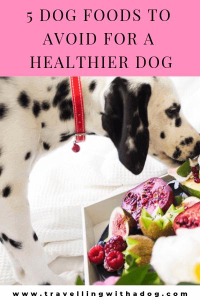 Dalmatian dog eating food