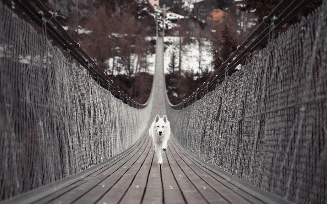A white dog running across a bridge