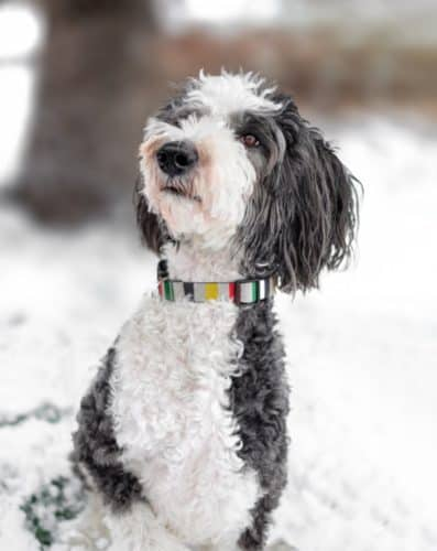 A sheepadoodle dog sitting