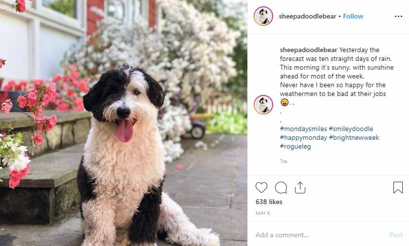Is a Mini Sheepadoodle The Perfect Dog for You and Your Family?