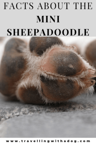 Image of a dog paw with the text: Facts about the mini Sheepadoode