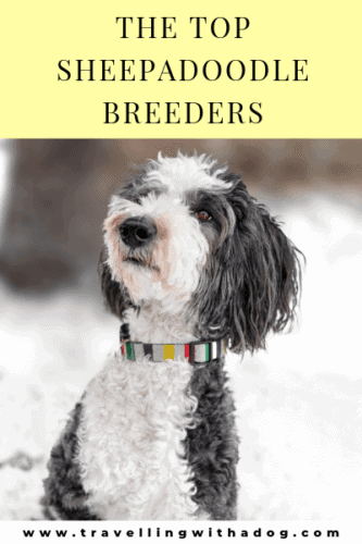 25+ of the Best Sheepadoodle Breeders | Travelling with a Dog