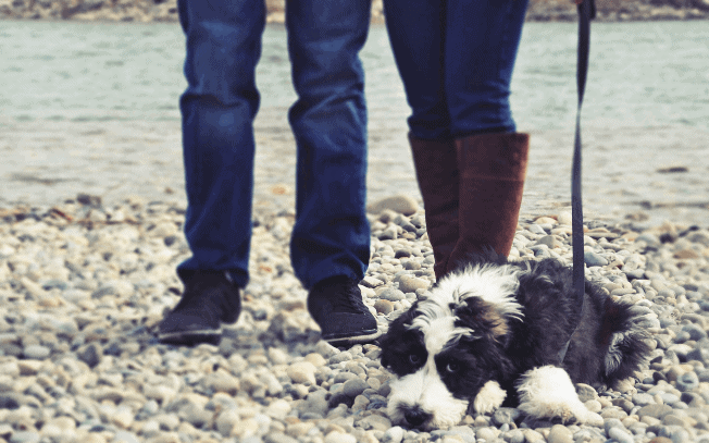 A sheepadoodle puppy laying at two people's feet by the river