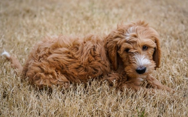 Curly haired brown dog laying in the grass