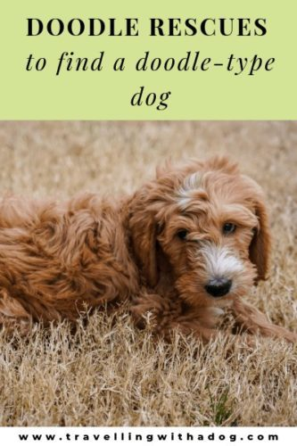 The Best Doodle Rescue To Find A Doodle Type Dog