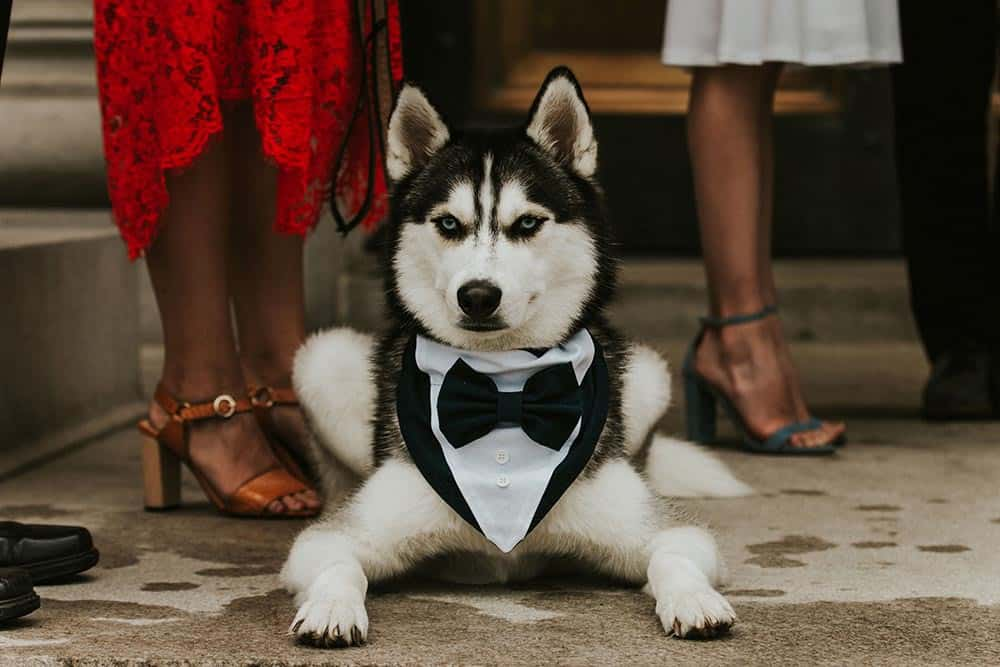 Dog with a tuxedo on