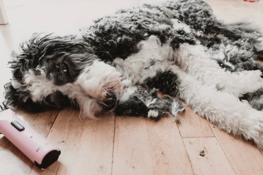 Sheepadoodle sleeping while getting shaved
