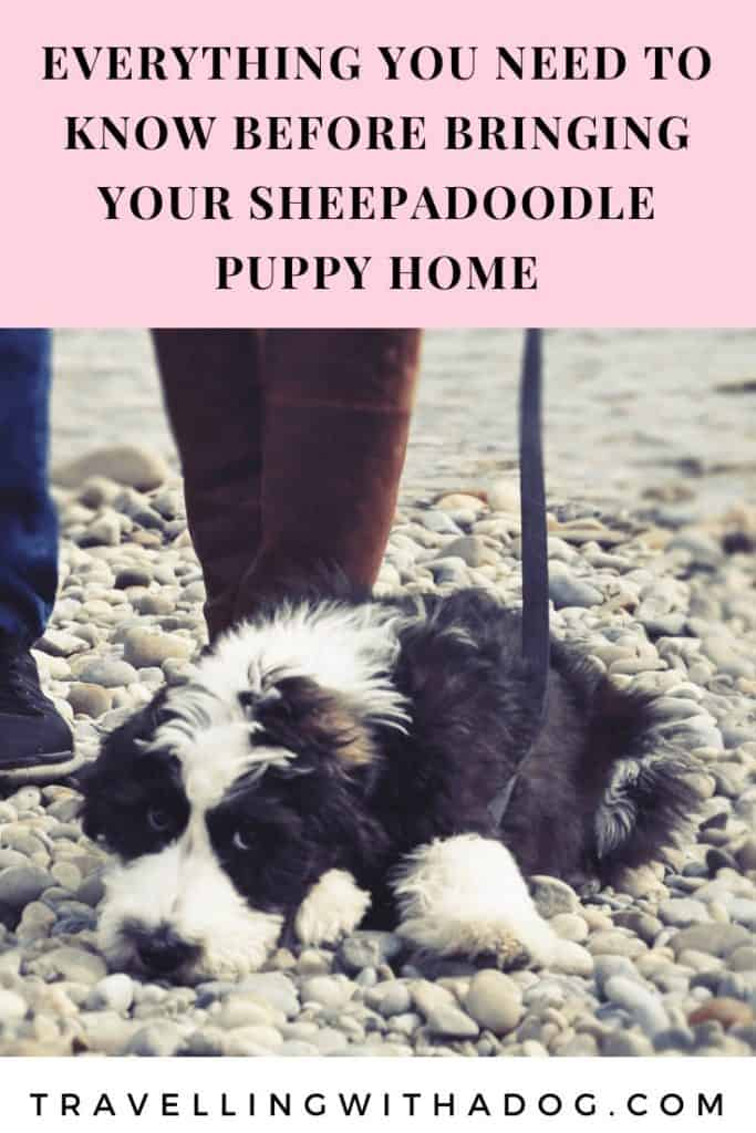 What You Need To Do Before You Bring Your Sheepadoodle Puppy Home Travelling With A Dog