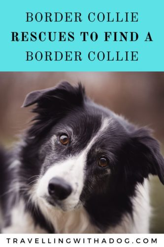 image with text overlay: border collie rescues to find a border collie