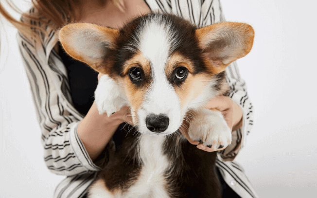 Puppy with big ears sticking up being held by a woman