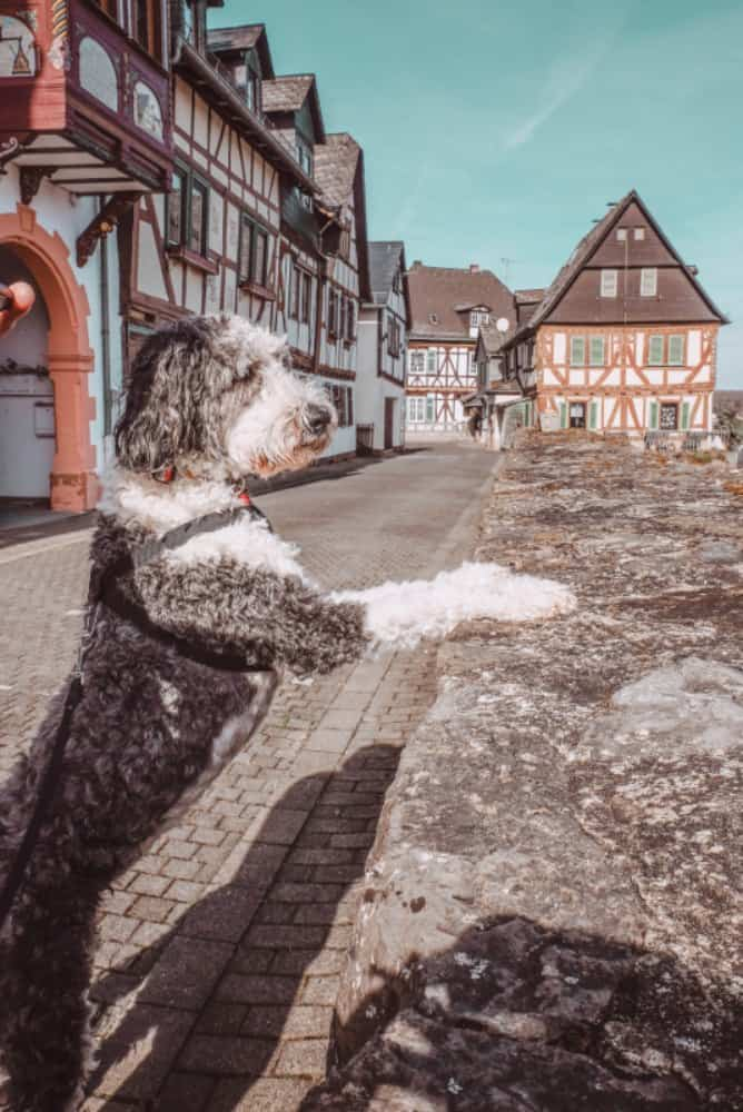 Shaved Sheepadoodle dog with half-timber houses in the background