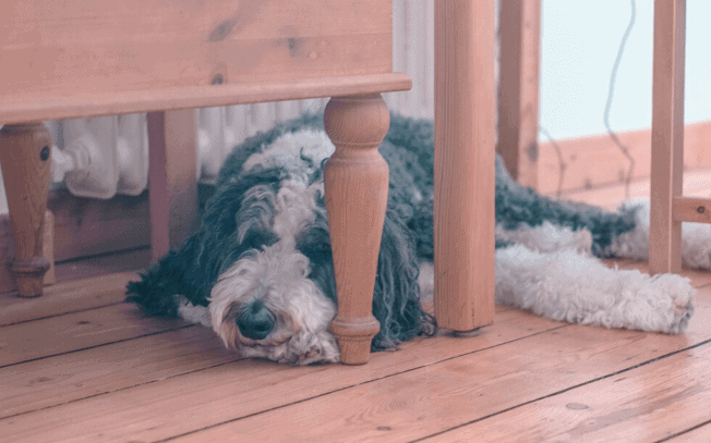 Sleeping Sheepadoodle