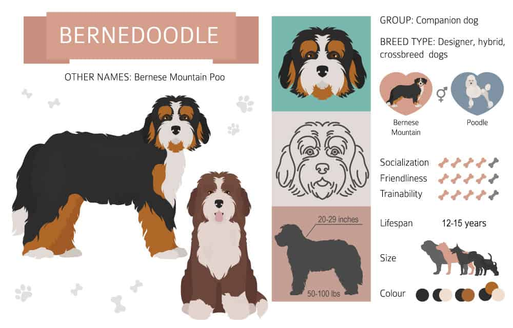 Bernedoodle infographic with cartoon bernedoodles and bernedoodle facts