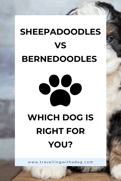 image with text overlay: Sheepadoodles vs Bernedoodles: which one is right for you?