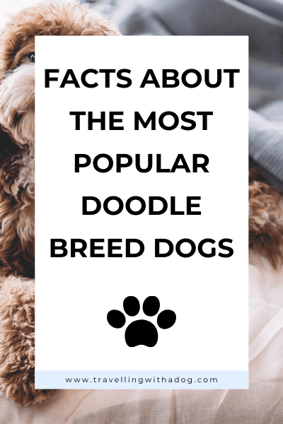 image with text overlay: facts about the most popular doodle breeds