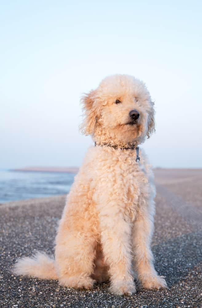 BIg beige dog sitting on beach