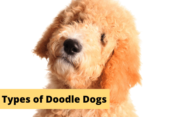 """Goldendoodle dog with the text """"Types of Doodle Dogs""""."""
