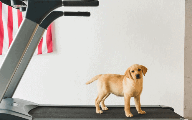 Golden puppy standing on a treadmill