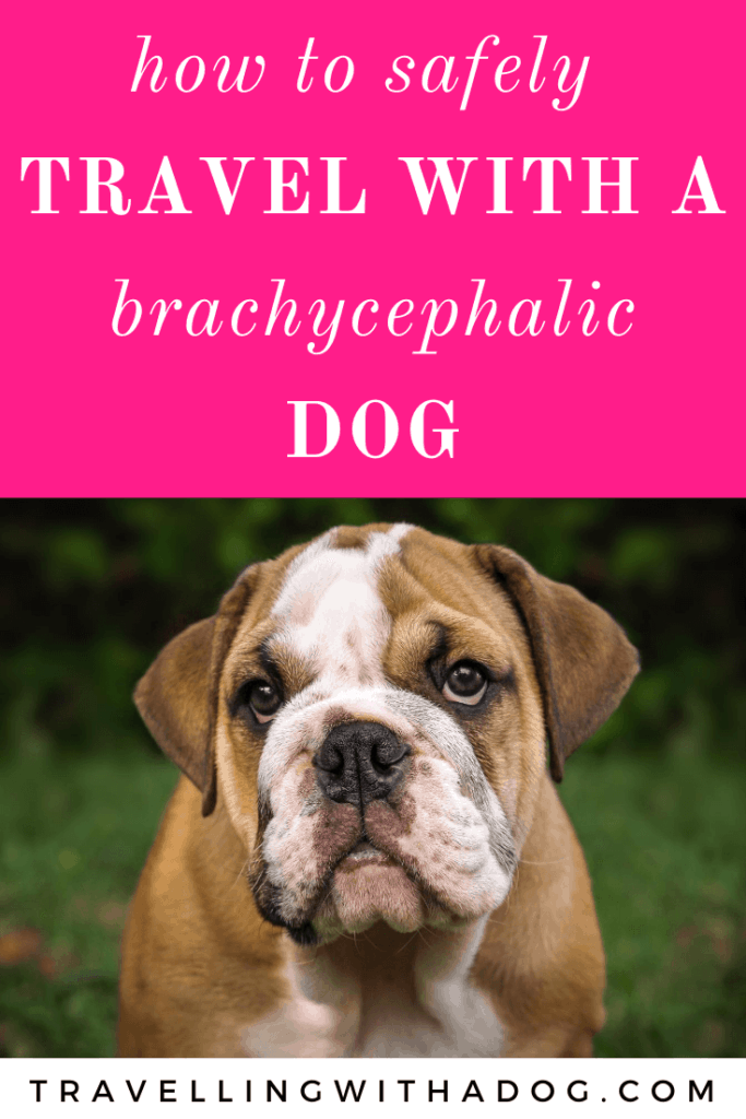 bulldog with text above that reads: how to safely travel with a Brachycephalic dog