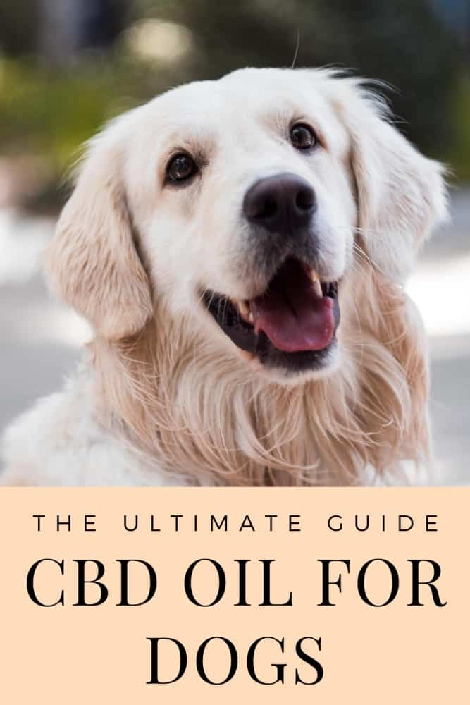 Golden retriever with text written below: the ultimate guide. CBD oil for dogs