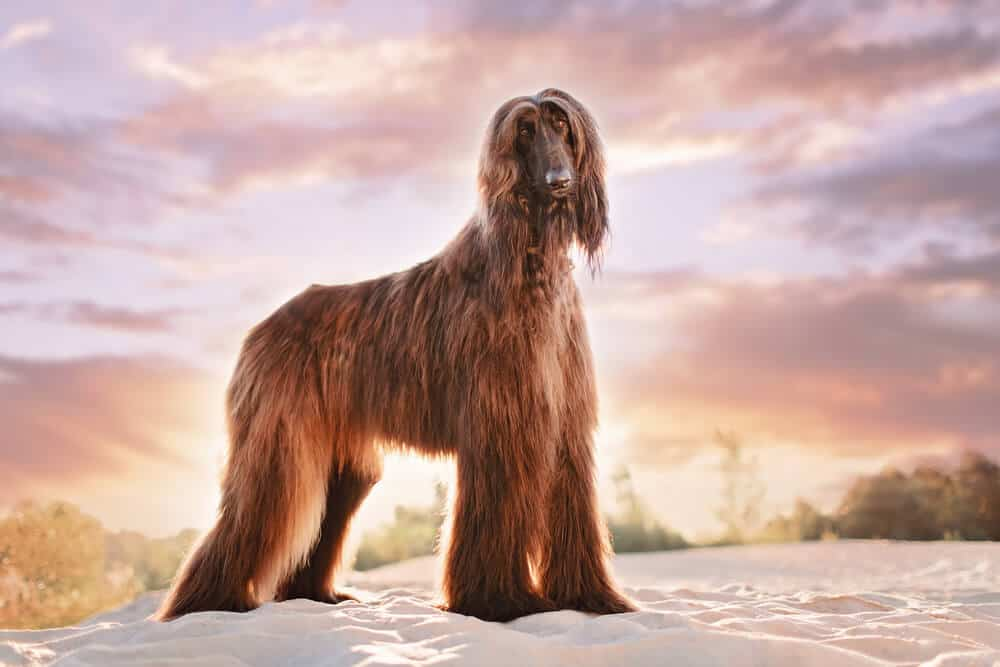 Large dog with long hair standing on the beach. A sunset is in the background.