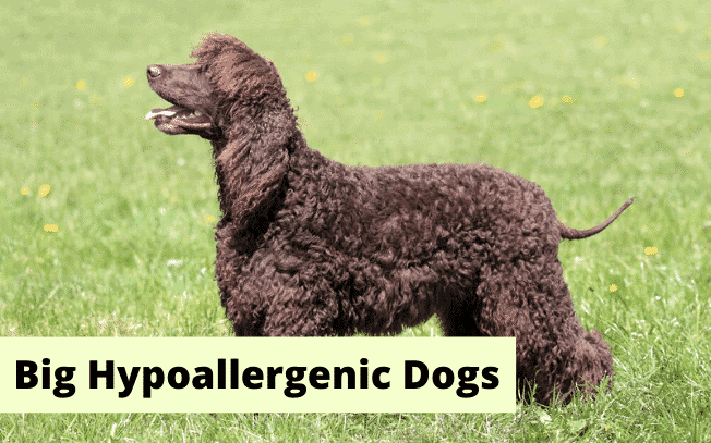 """A brown dog with the text """"Big Hypoallergenic Dogs""""."""