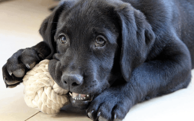 Black dog chewing on a rope