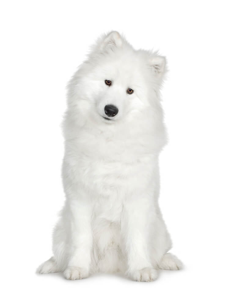 White fluffy dog sitting