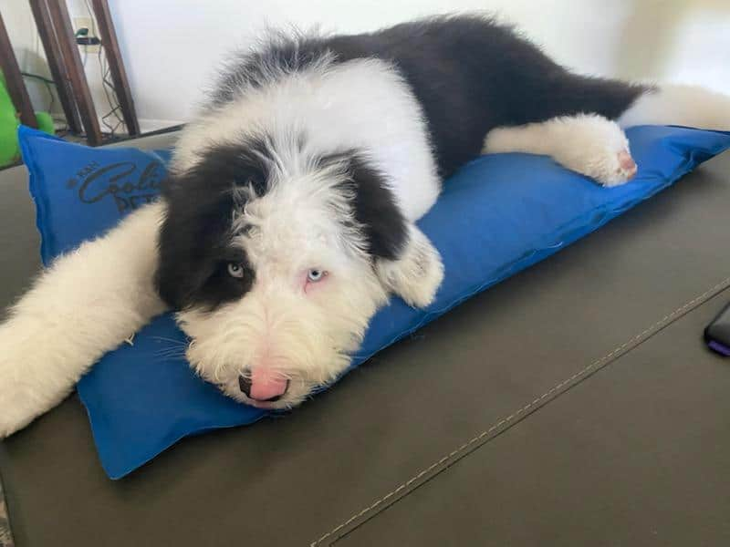 A black and white Sheepadoodle dog laying down