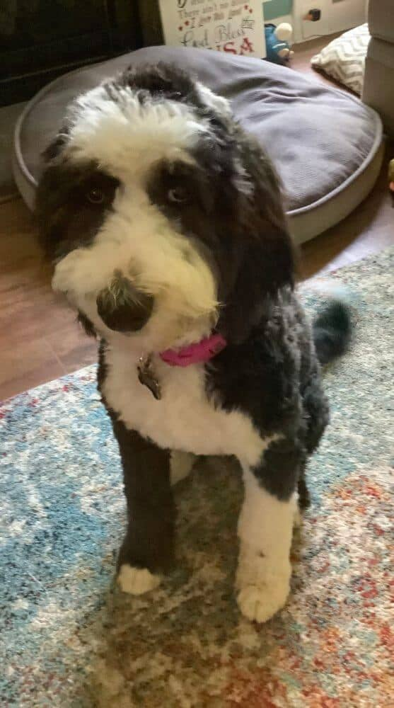 A black and white sheepadoodle dog sitting