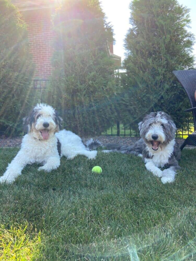 Two shaggy sheepadoodle dogs laying down in the grass
