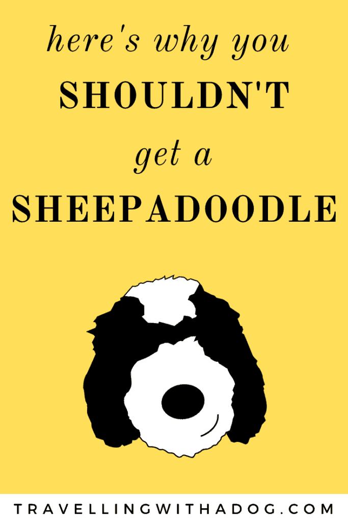text that reads: here's why you shouldn't get a Sheepadoodle