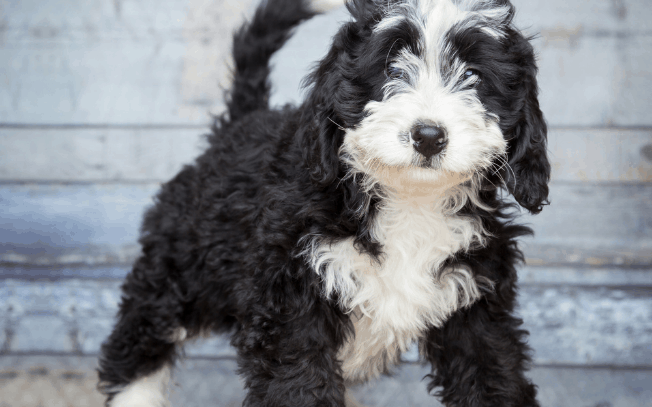 Bernedoodle puppy standing