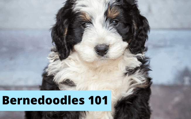 A picture of a Bernedoodle puppy.