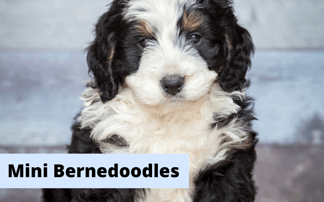 """Picture of a Bernedoodle puppy with the text """"Mini Bernedoodles""""."""