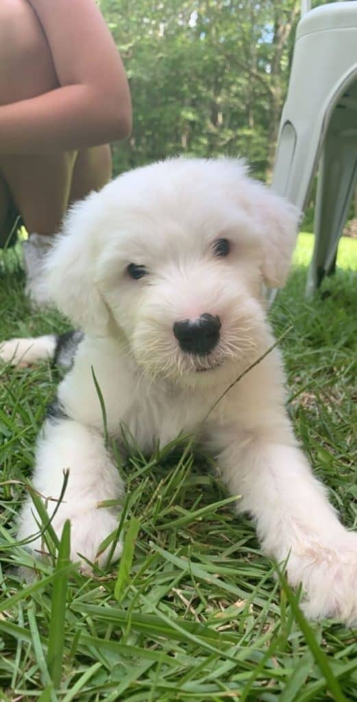 Black and white Sheepadoodle puppy laying in the grass
