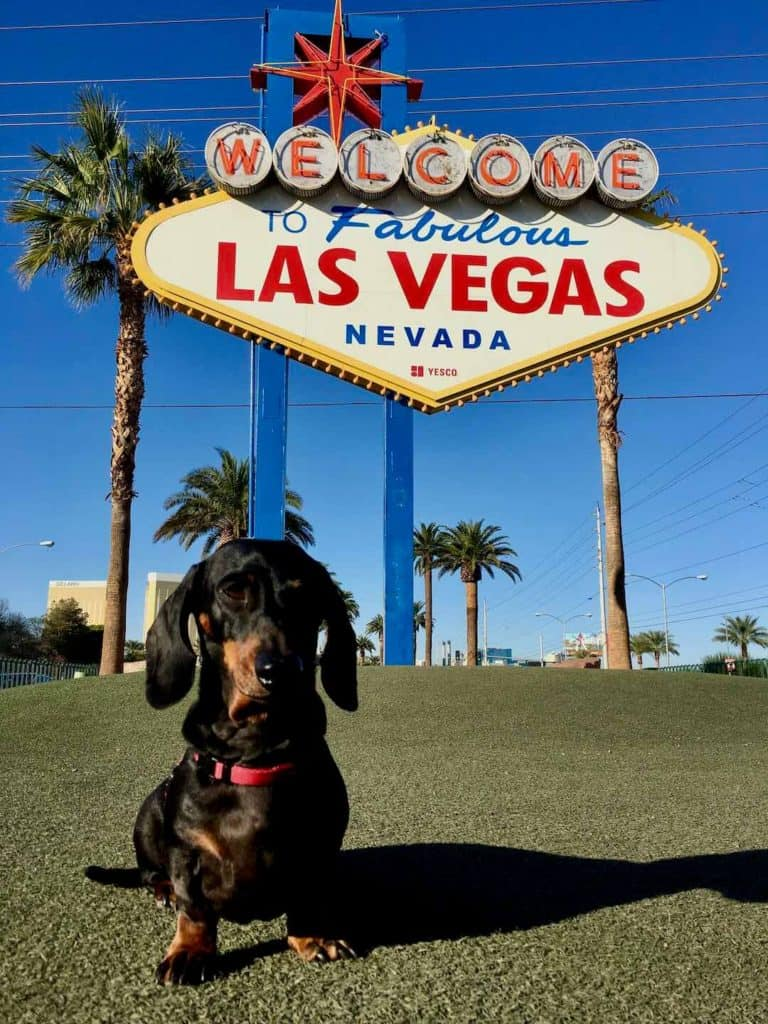 Dog sitting in front of the Las Vegas sign