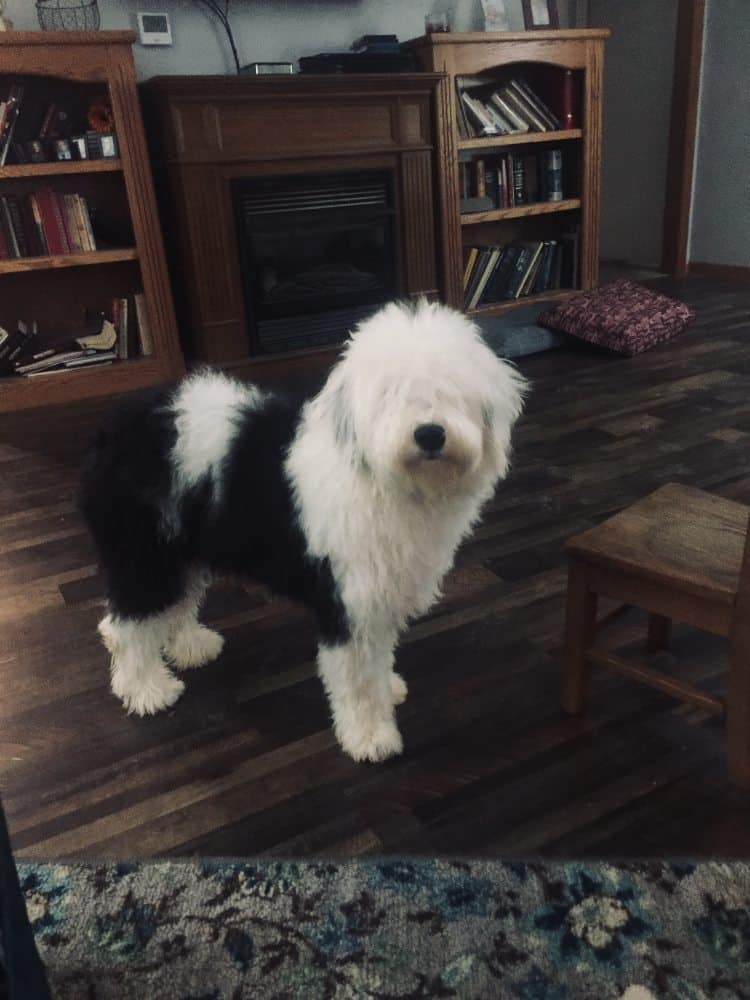 Black and white Sheepadoodle dog standing