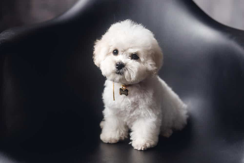 Small white fluffy dog sitting on couch