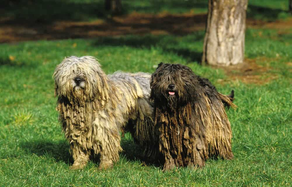 Two dogs standing in the grass. One is white and one is brown. Both have corded coats.