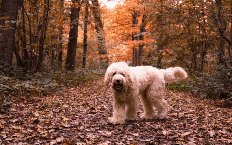 A dog (labradoodle) standing in fall foliage